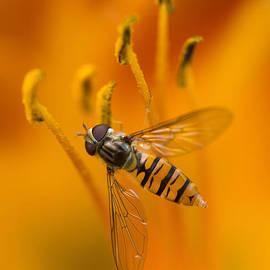 Jaroslaw Blaminsky - Bee inside the orange lilium flower