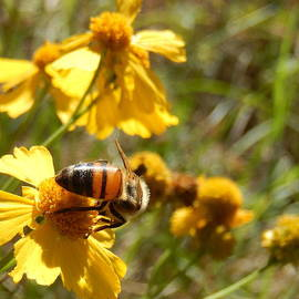 Karen Rispin - Bee on bitterweed