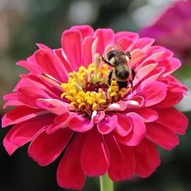 Cynthia Guinn - Bee On Pink Flower