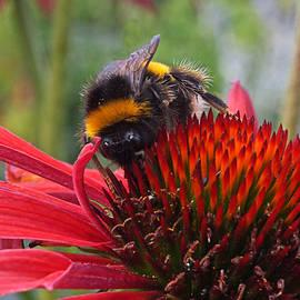 Gill Billington - Bee on Red Coneflower Vertical