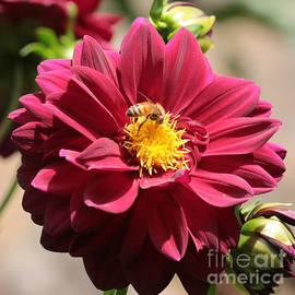 Carol Groenen - Bee on Red Dahlia