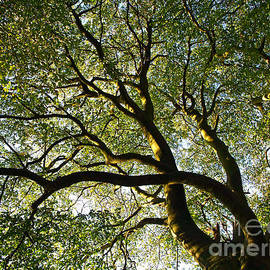 Alex Cassels - Beech Tree Canopy 2