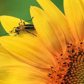 Carolyn Derstine - Beetle on Sunflower