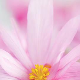Jacky Parker - Begonia boliviensis pink