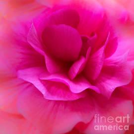 Arlene Carmel - Begonia Bright