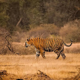 June Pryor - Bengal Tiger