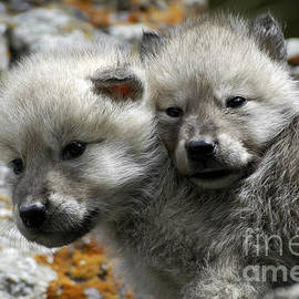 Wildlife Fine Art - Wolves- Best Friends