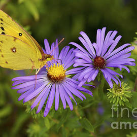 Jane Eleanor Nicholas - Best Friends - Sulphur butterfly on Asters