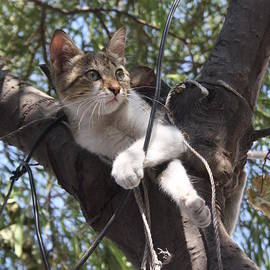 Tracey Harrington-Simpson - Bi-Color Tabby Cat In Tree 2