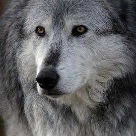 Athena Mckinzie - BIG Bad Wolf