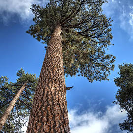 Eddie Yerkish - Big Bear Pine Tree