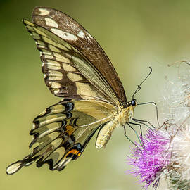 Cheryl Baxter - Big Beautiful Swallowtail