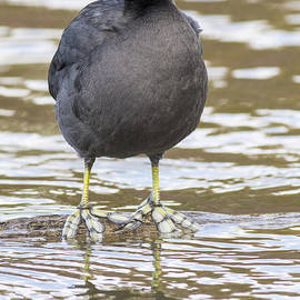 David Cutts - Big Footed Coot