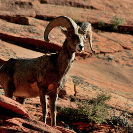 Marty Fancy - Big Horn Ram at Zion