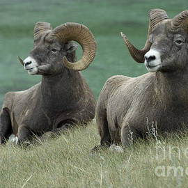 Bob Christopher - Big Horn Sheep 3