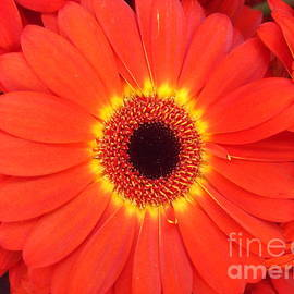 Miriam Danar - Big Orange Flower - Gerbera Daisy
