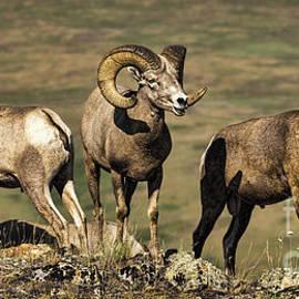 Priscilla Burgers - Bighorn Ram Calling His Friends