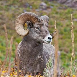 Jeff Goulden - Bighorn Ram