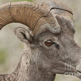 Michael  Nau - Bighorn Sheep 2