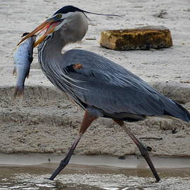 Laurel Lockamy - Biloxi Blue Heron happy bird