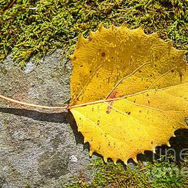 Alana Ranney - Birch Leaf