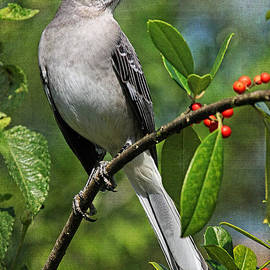 HH Photography of Florida - Birds - Northern Mockingbird
