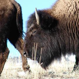 Carl Moore - Bison