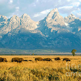 Nicholas Blackwell - Bison Herd
