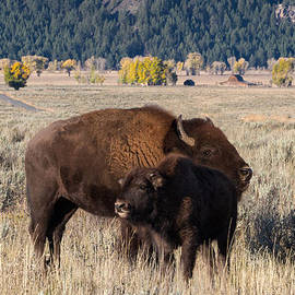 Kathleen Bishop - Bison Mama With Her Calf