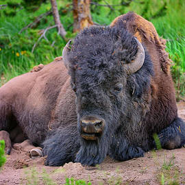 Greg Norrell - Bison Portrait
