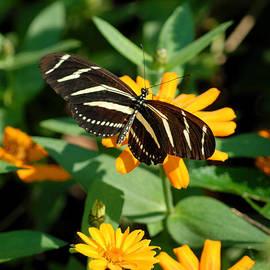Glenn Morimoto - Black and White butterfly