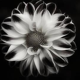 Richard Cummings - Black and White Dahlite