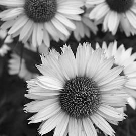 Brooke Ryan - Black and White Echinacea -