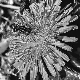 Leif Sohlman - Black and white Hoverfly On Dandelion