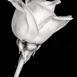 Don Johnson - Black and White Pale Rose