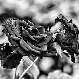 Leif Sohlman - Black and white Red rose DB late September 2013