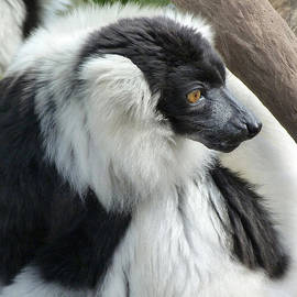 Margaret Saheed - Black And White Ruffed Lemur