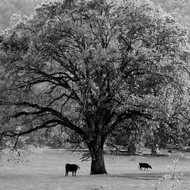 Michele  Avanti - Black and White Tree with two cows