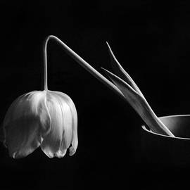 David and Carol Kelly - Black and White Tulip
