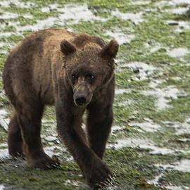 Phyllis Taylor - Black Bear on the Prowl