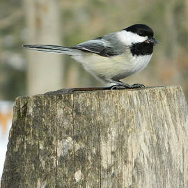Nancy Spirakus - Black Capped Chickadee Brecksville Ohio