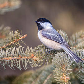 Gene Healy - Black-capped Chickadee