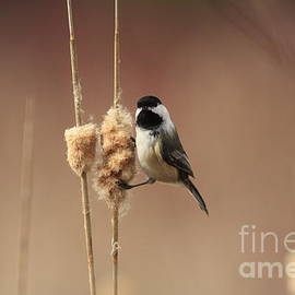 Inspired Nature Photography By Shelley Myke - Black Capped Chickadee in the Marsh