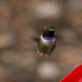 Kathy Peltomaa Lewis - Black Chinned Hummingbird
