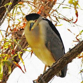 Tom Janca - Black Crown Night Heron