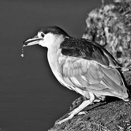 Bob and Nadine Johnston - Black Crowned Heron