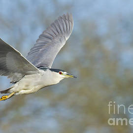Bryan Keil - Black- crowned night heron