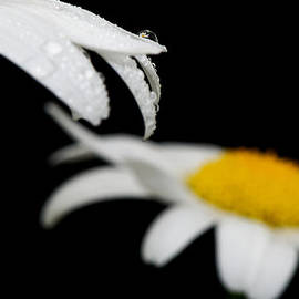 Lisa Knechtel - Black Daisy Reflection
