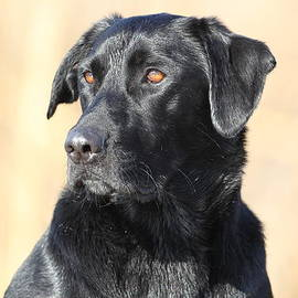 Steve Jamsa - Black Lab