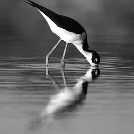 John Tsumas - Black-necked Stilt Mirror